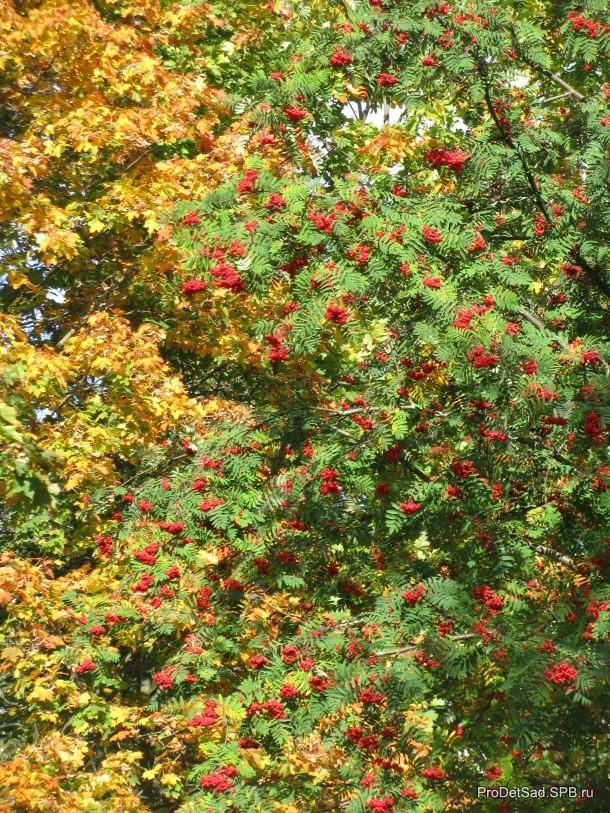 осенние деревья клен и рябина