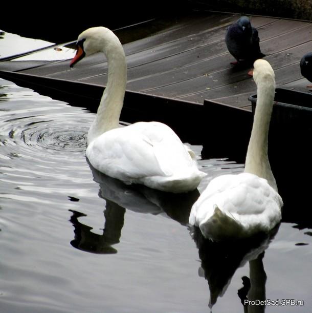 Лебеди Летнего сада